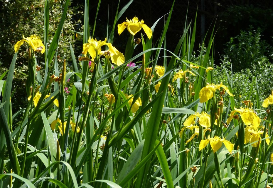 Yellow Flag Iris at its peak, May 21st '19