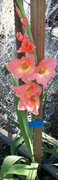 The Last of the Glads