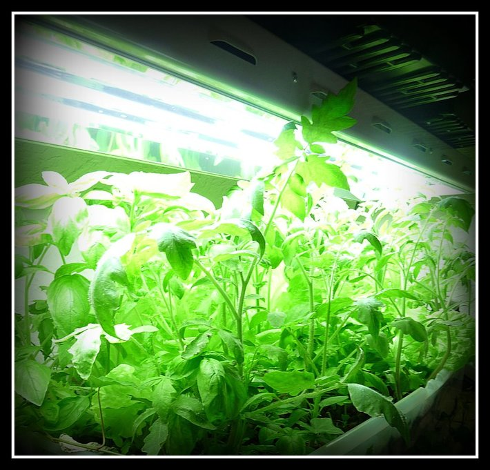 Basil, tomatoes, lettuces, peppers, peas