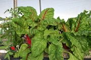 Ruby red swish chard