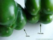 sex of bell peppers