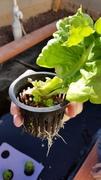 Hydroponics Lettuce converted to Aquaponics