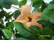 hibiscus.2