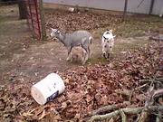Dec. 30th The goats are out