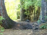 Cedar & Pine Are ONE