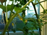 My first tomato in the patio system