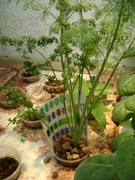 Aquaponics update May 7-12,photos 019
