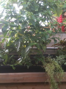 Hawaiian Chili Pepper are doing very well in the Aquaponic system.
