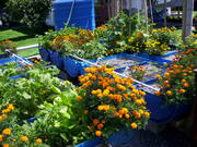 Marigold insect control