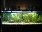 anglefish tank