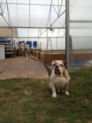 Dudley the farm dog