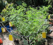 tomatoes gone crazy in Aquaponics garden (1)
