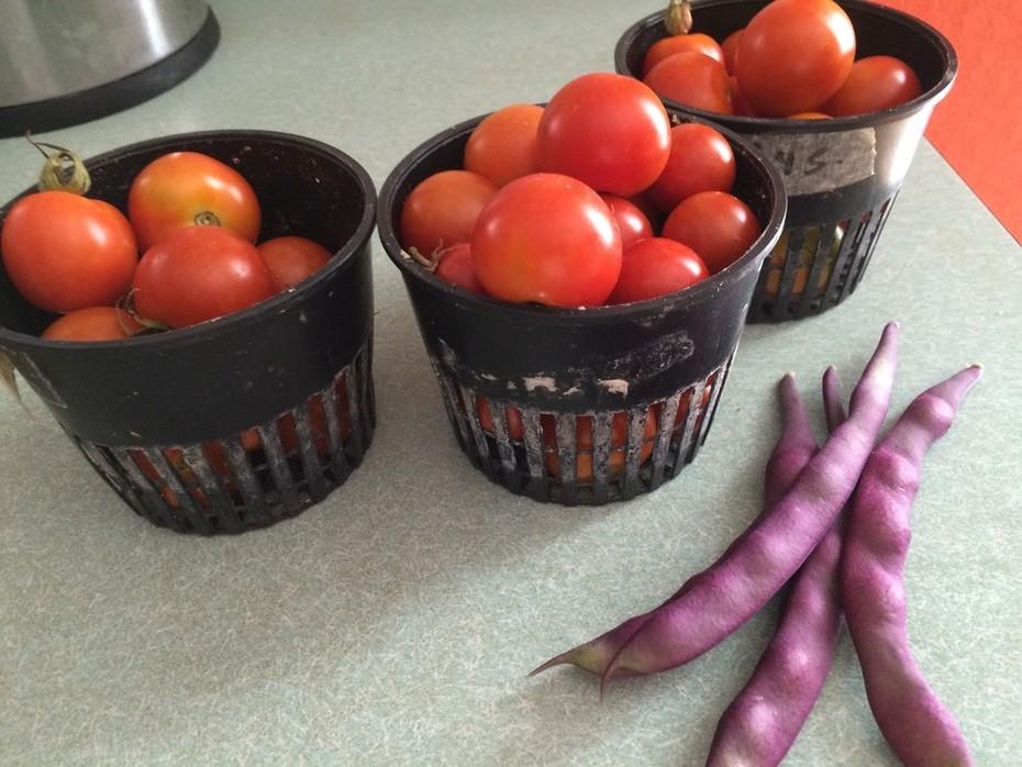 Tomato harvest 5.26.16