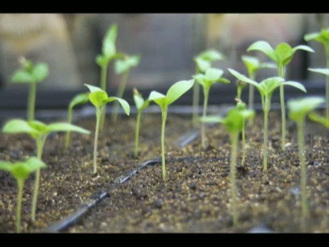 Transplanting Seedling