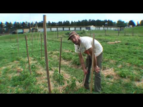 Staking tomatoes with stakes and string - the Florida Weave method