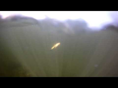 Lake Stevens Bed Fish Underwater Footage 2012.MP4