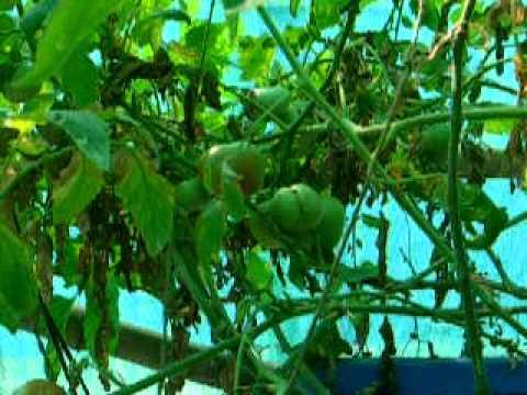 Urban Food Garden Update 21st March 2011