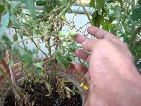 Homemade Aquaponics and container garden update 27 Sept