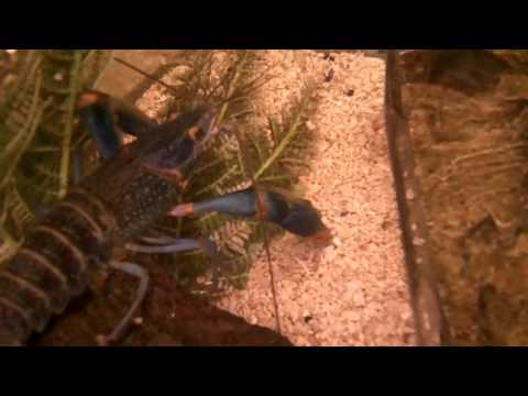 Large Red Claw Crayfish Male