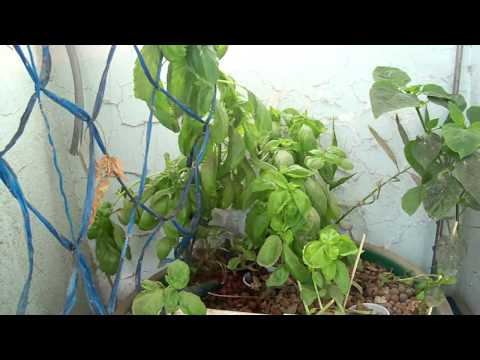 Aquaponics and Self-watering Container Garden in Jeddah, Saudi Arabia