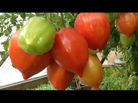 Aquaponic DWC Tomatoes