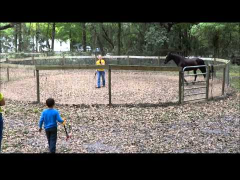 Missouri Foxtrotter Gaits Teaching Dolly to Canter Pt 8