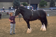 Draft Horses (Advanced) with Dale Perkins
