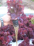 Commercial Aquaponics Training  With Applied Permaculture Design