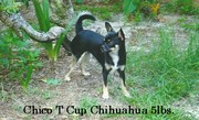 """"""" Mr.Chico, My T Cup Chihuahua"""""""