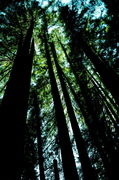 Mill Valley, California - Redwoods