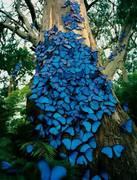 Blue Butterflies-2