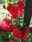 Bernie's roses, June 2013.
