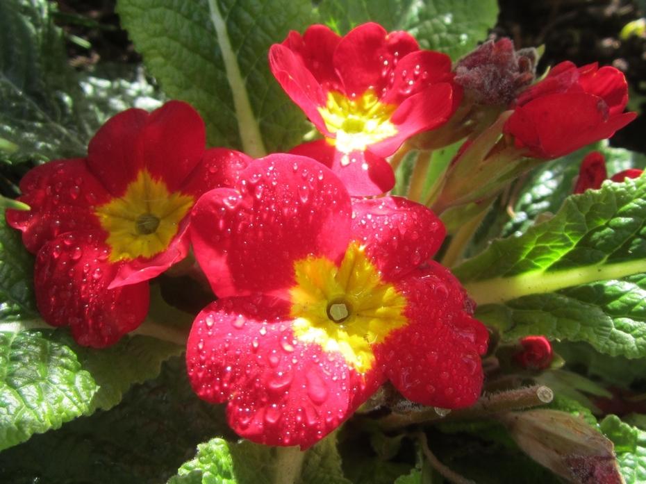 Primulas in Bernie's garden.