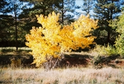 Cottonwoods in Autumn--East Mtns--#5(Orig),by Robert 'Standing Eagle'--395090-R1-15-19A (Oct 2005)