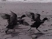 Birds in oil