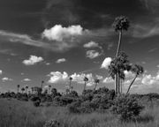 Palms on the prairie near Wagon Wheel Road, Big Cypress