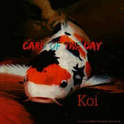 "Card of the Day ""Koi"""