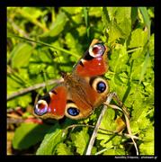 παγώνι, πεταλούδα