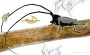 """Coléoptère longicorne avec minuscules  rainettes acrobates"""" Hyla gratiosa"""" a"""