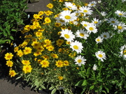 June yellow and white daisies