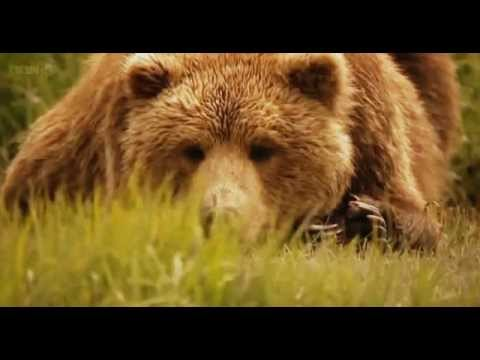 Grizzlies Of Alaska