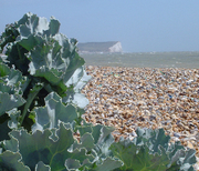 Seaford Beach - Seven Sisters and seaweed...