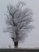 Pomul singuratic