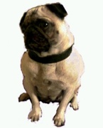 pug colombia