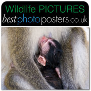 Baby Macaque feeding from its mothers breast