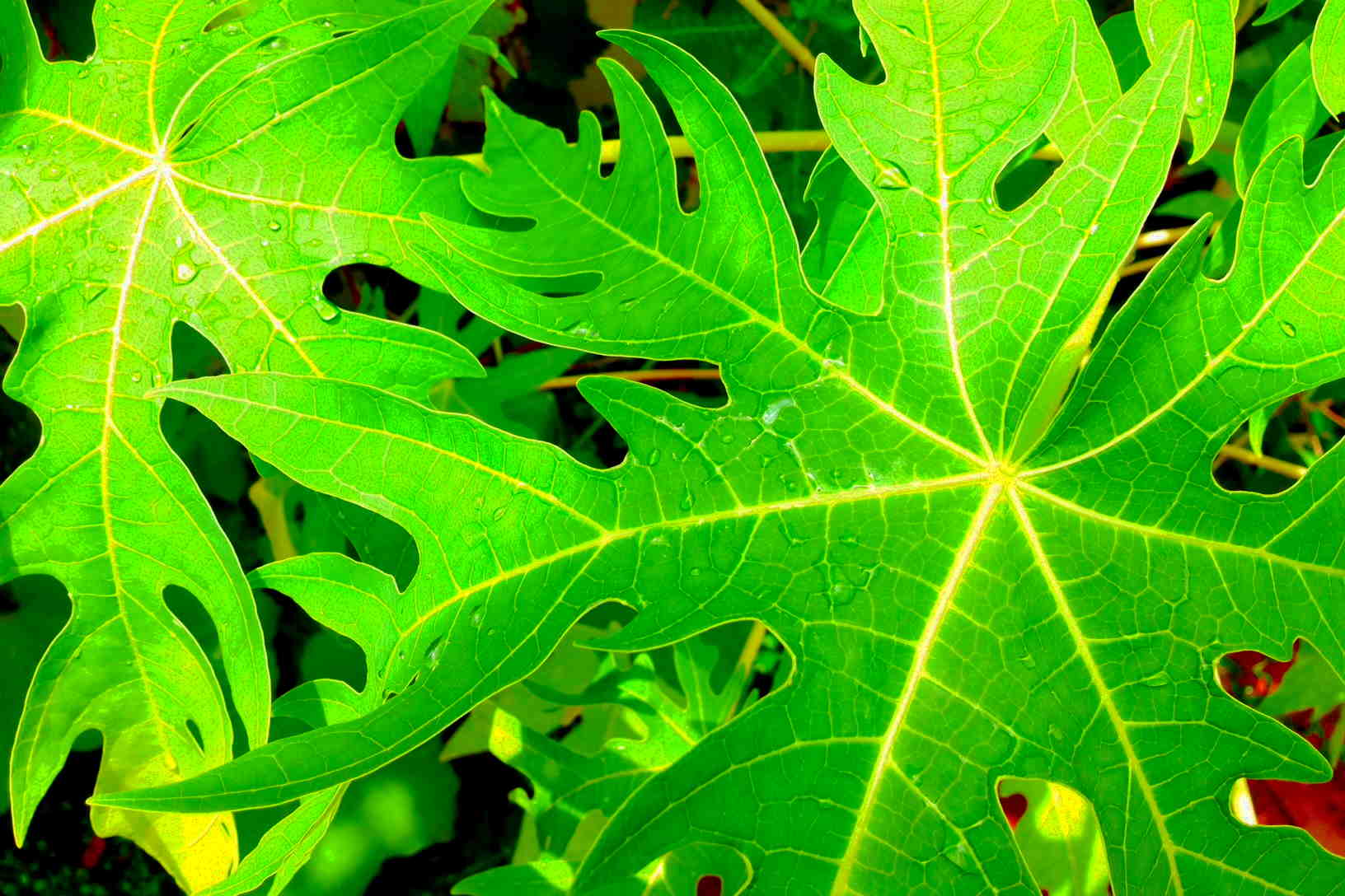 15 Uses for Papaya Leaves - A Powerful Cure for Cancer