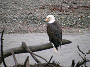 Eagle on Log