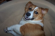 Corgis of Hampton Roads Virginia