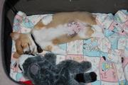 gingersleeping