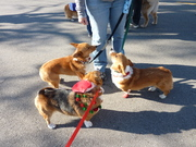 Corgis at the downtown Xmas parade
